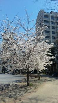 Sakura2 4-6-2011.JPG