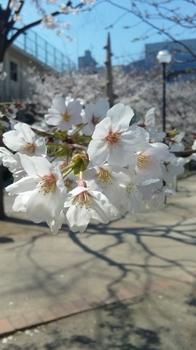Sakura4-6-2011.JPG
